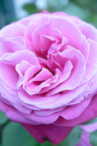 International_roses_gardening_sh_59