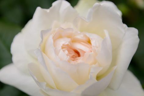 International_roses_gardening_sh_60