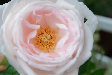 International_roses_gardening_sh_61