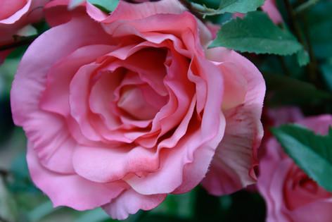 International_roses_gardening_sh_62