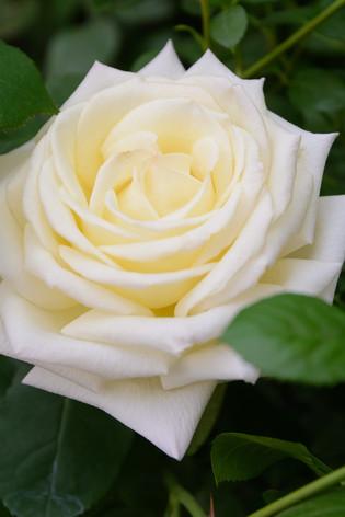 International_roses_gardening_sh_63