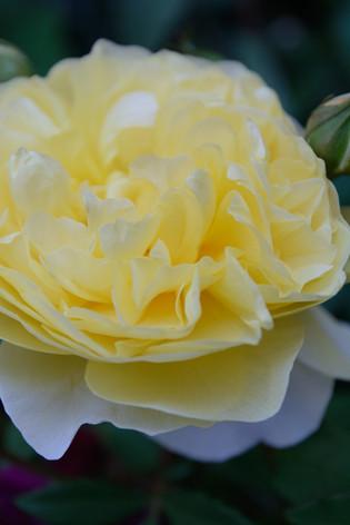 International_roses_gardening_sh_64