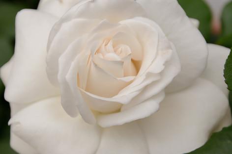 International_roses_gardening_sh_65