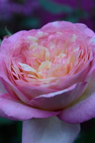 International_roses_gardening_sh_66