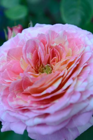 International_roses_gardening_sh_67