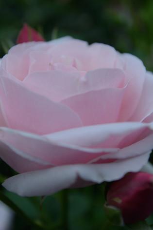 International_roses_gardening_sh_68