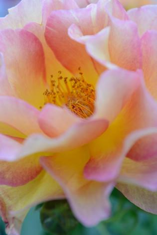 International_roses_gardening_sh_69