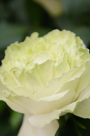 International_roses_gardening_sh_71