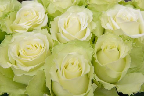 International_roses_gardening_sh_72