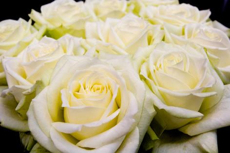 International_roses_gardening_sh_77