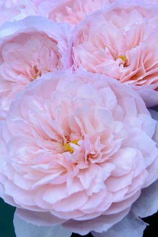 International_roses_gardening_sh_78