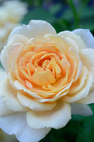 International_roses_gardening_sh_81