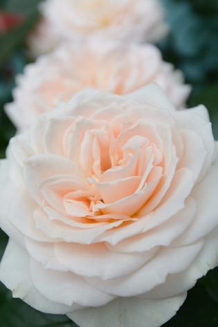 International_roses_gardening_sh_82