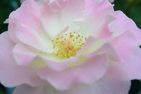 International_roses_gardening_sh_83