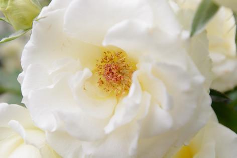 International_roses_gardening_sh_84