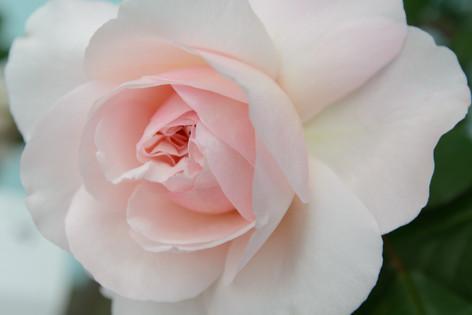 International_roses_gardening_sh_85