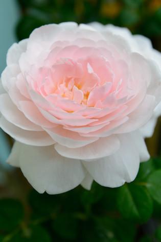 International_roses_gardening_sh_86