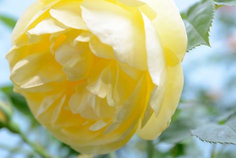 International_roses_gardening_sh_87