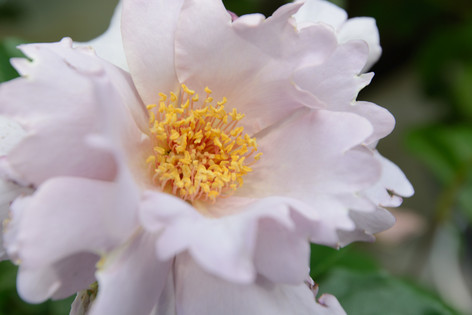 International_roses_gardening_sh_88