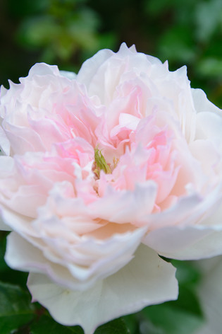 International_roses_gardening_sh_89
