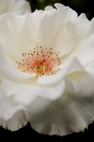 International_roses_gardening_sh_90