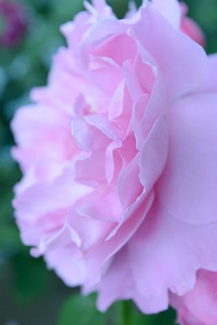 International_roses_gardening_sh_91