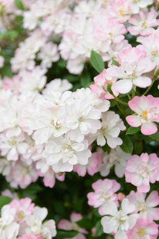 International_roses_gardening_sh_92