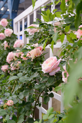 International_roses_gardening_sho_9