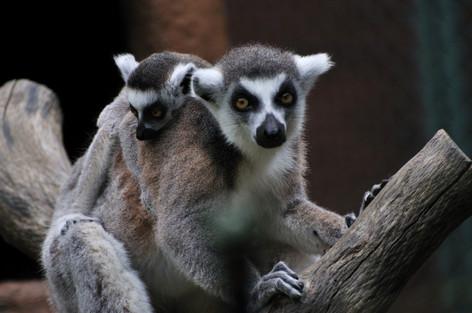 Lemur_catta_01