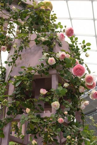 2016_roses_gardening_03