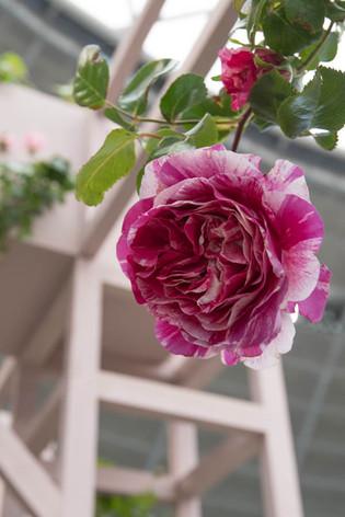 2016_roses_gardening_08