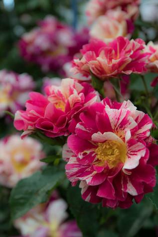 2016_roses_gardening_09