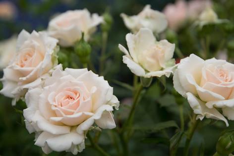 2016_roses_gardening_12