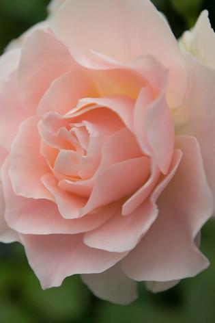 2016_roses_gardening_13