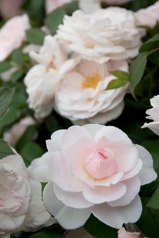 2016_roses_gardening_14