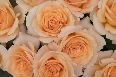 2016_roses_gardening_24