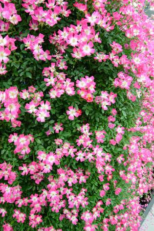 2016_roses_gardening_34