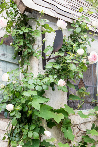 2016_roses_gardening_41
