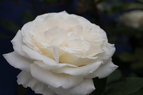 2016_roses_gardening_45