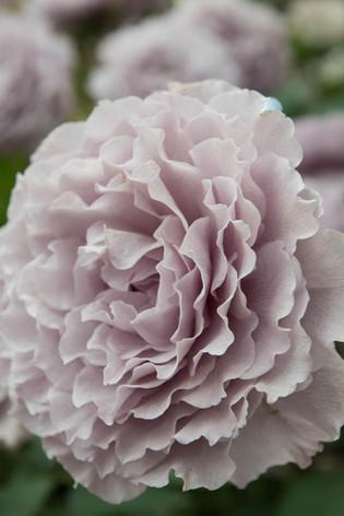 2016_roses_gardening_46