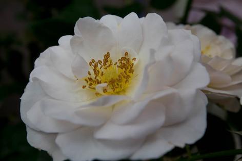 2016_roses_gardening_47