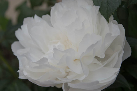 2016_roses_gardening_48