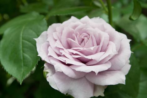 2016_roses_gardening_49