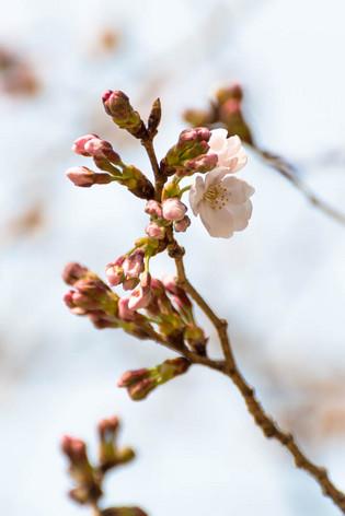 Sakura_flowering_2017_01