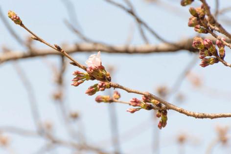 Sakura_flowering_2017_02