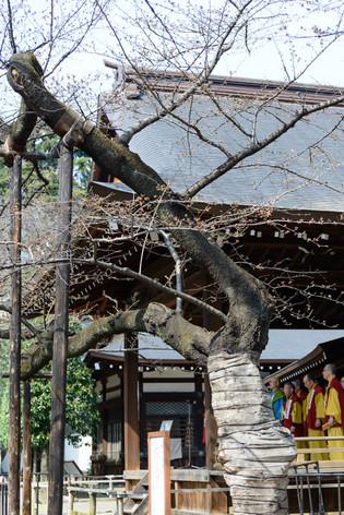 Sakura_flowering_2017_05