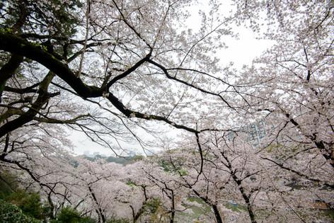 Chidorigafuchi_20170408_01
