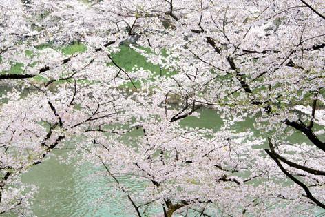 Chidorigafuchi_20170408_03
