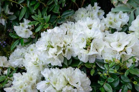 2017_roses_gardening_006