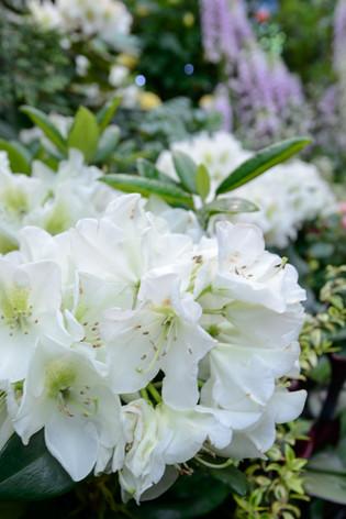 2017_roses_gardening_007